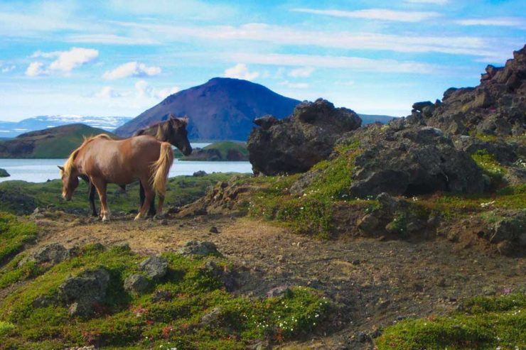 Iceland in summer Myvatn horses