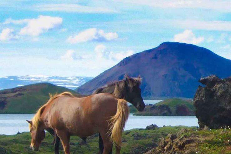 Icelandic horses grazing next to a lake in Iceland