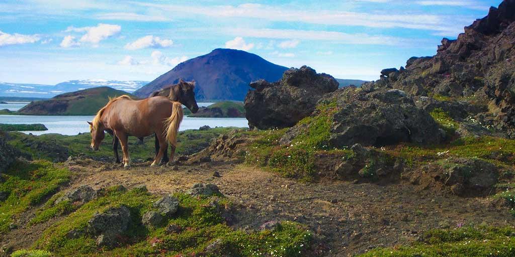 Iceland in summer Myvatn horses