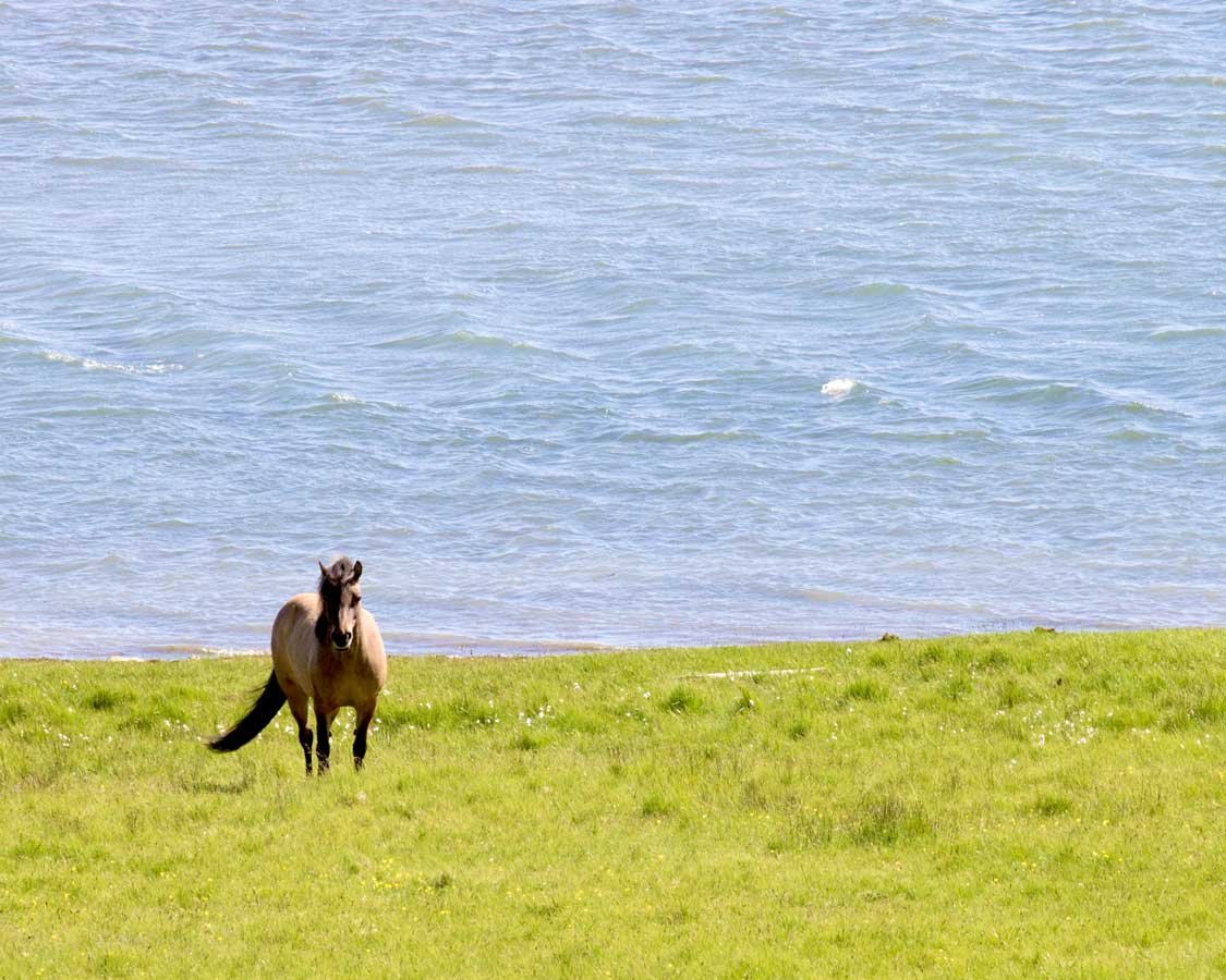 Icelandic horses in the summer