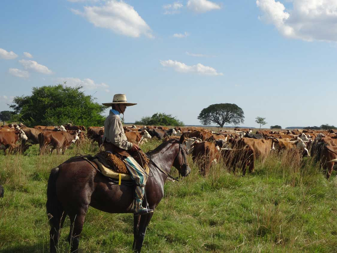 An Argentinean Gaucho watching over cows near Buenos Aires for families