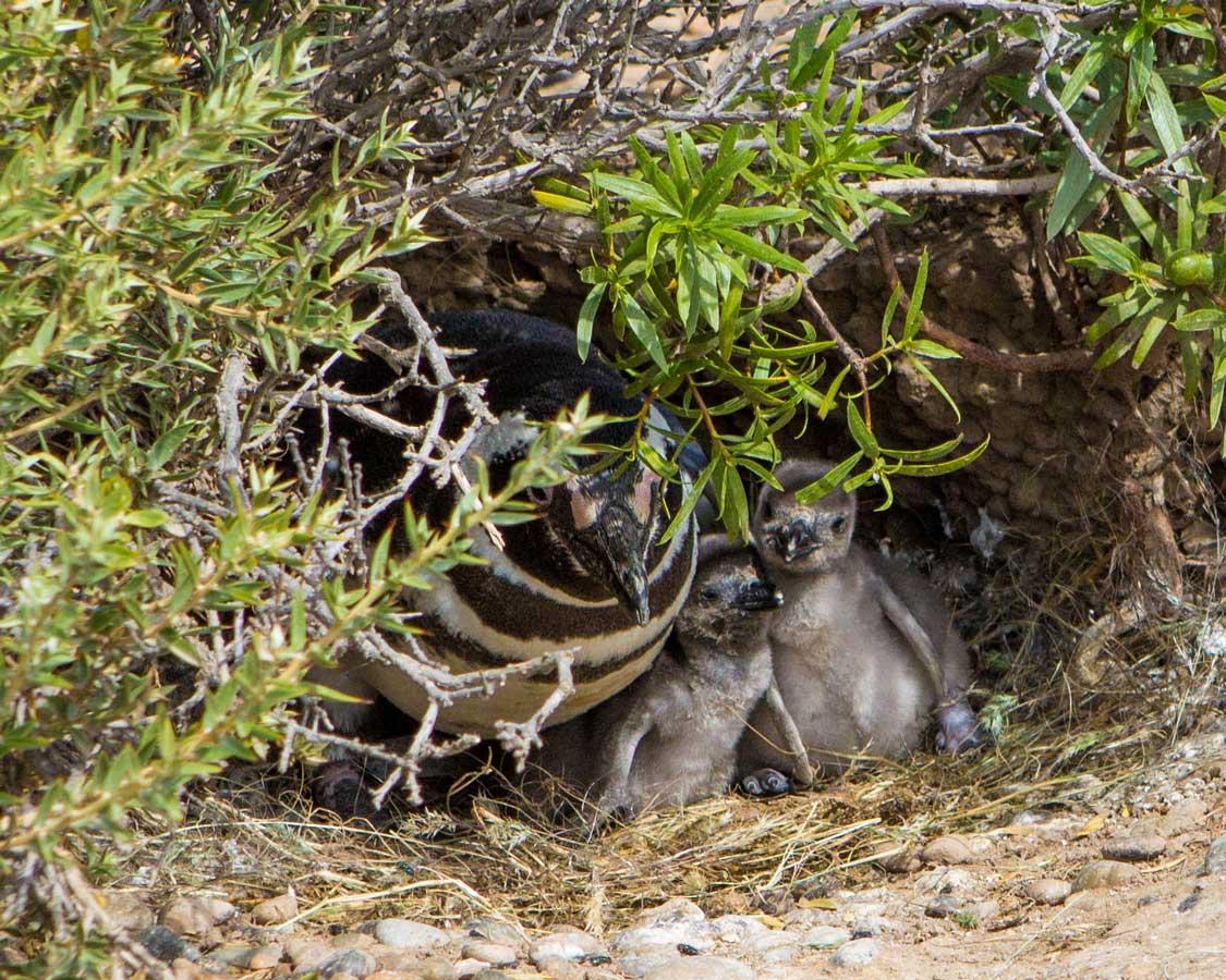 Penguin chicks inside a nest in Punta Tombo