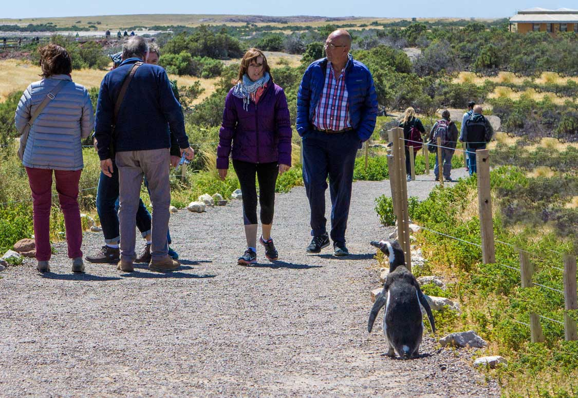 Penguin walking with people at the Punta Tombo National Wildlife Reserve