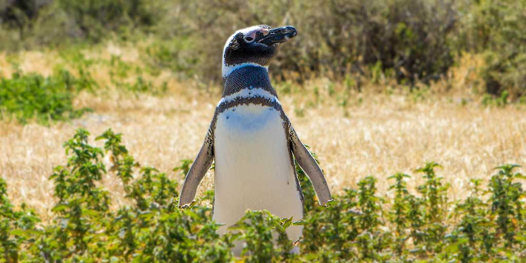 Magellenic Penguin in Punta Tombo, Argentina