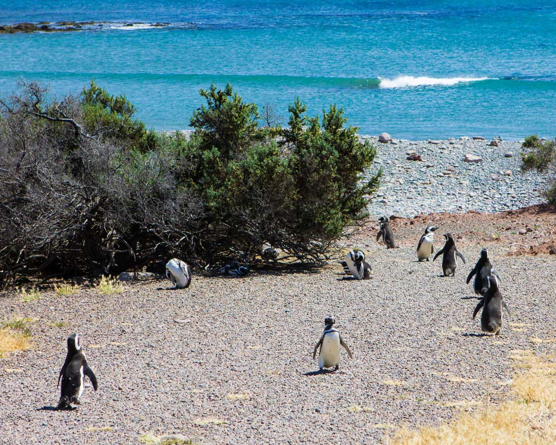 The Penguin Superhighway in Punta Tombo, Argentina