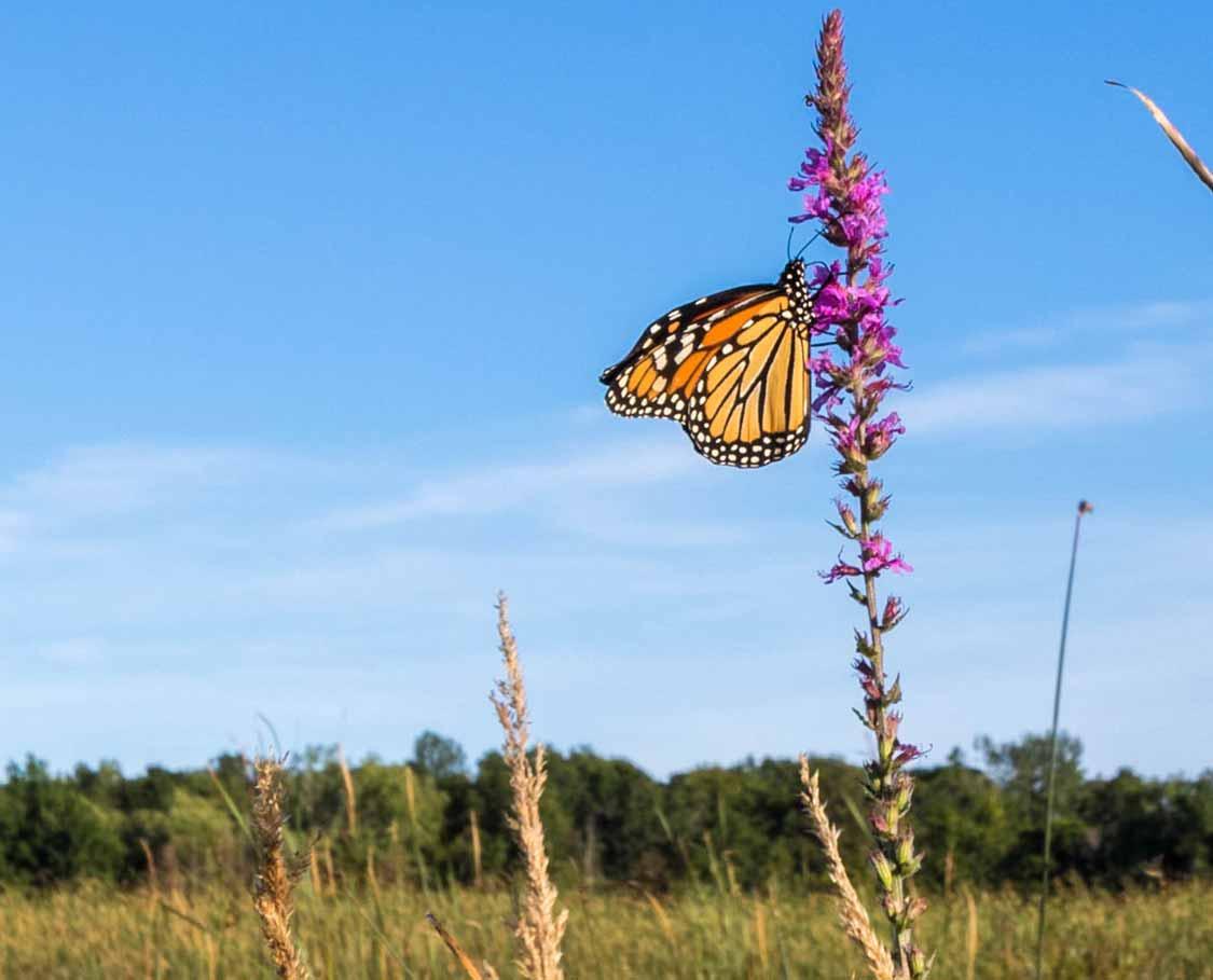 Monarch butterfly at Presqu'ile Provincial Park