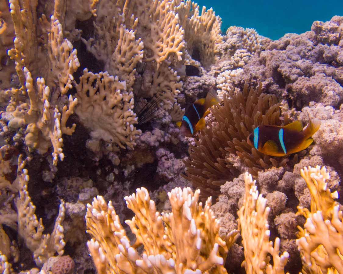 Clownfish in the Red Sea in Aqaba Jordan