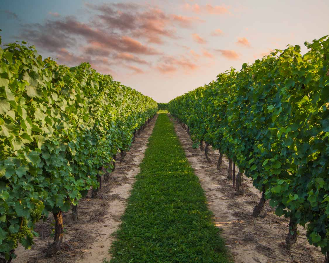 Pelee Island vineyard