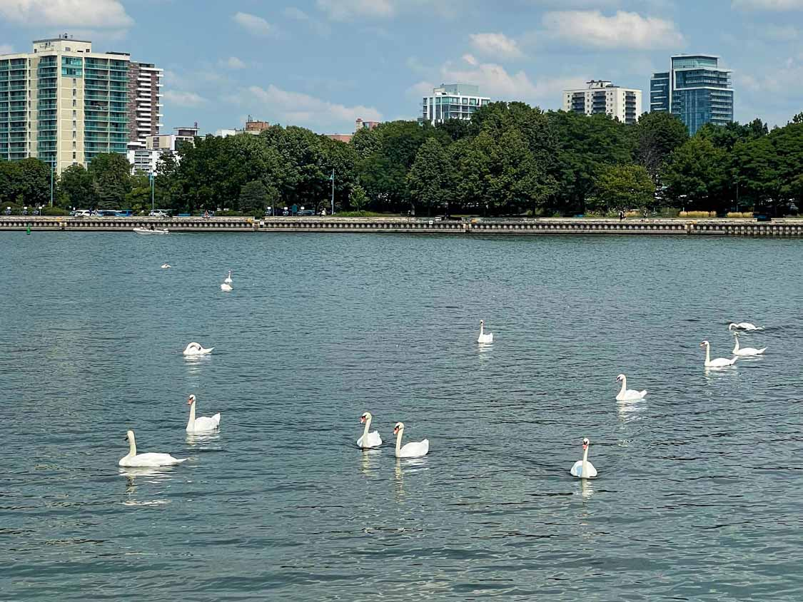 Swans on the Lakefront Promenade Mississauga